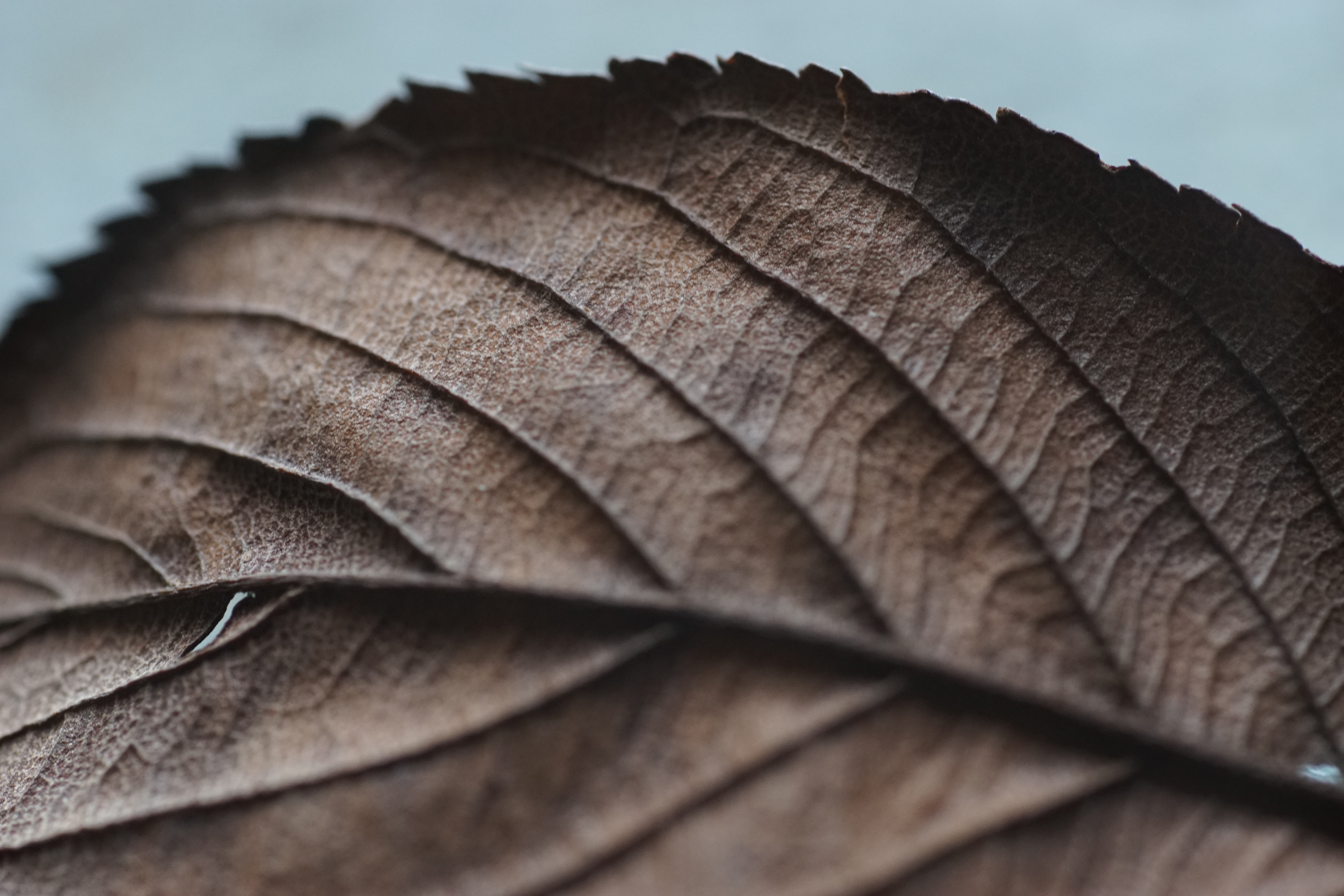 macro photography of dried leaf