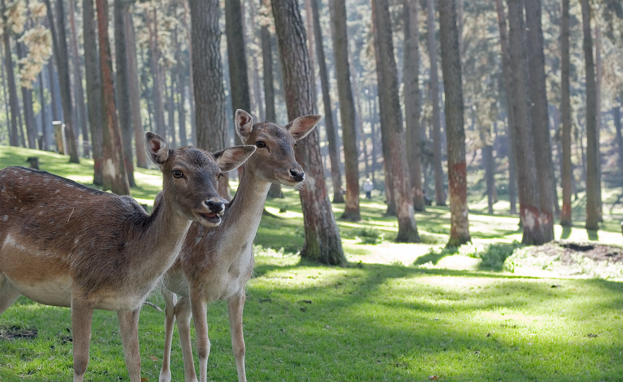 two brown deers in woods