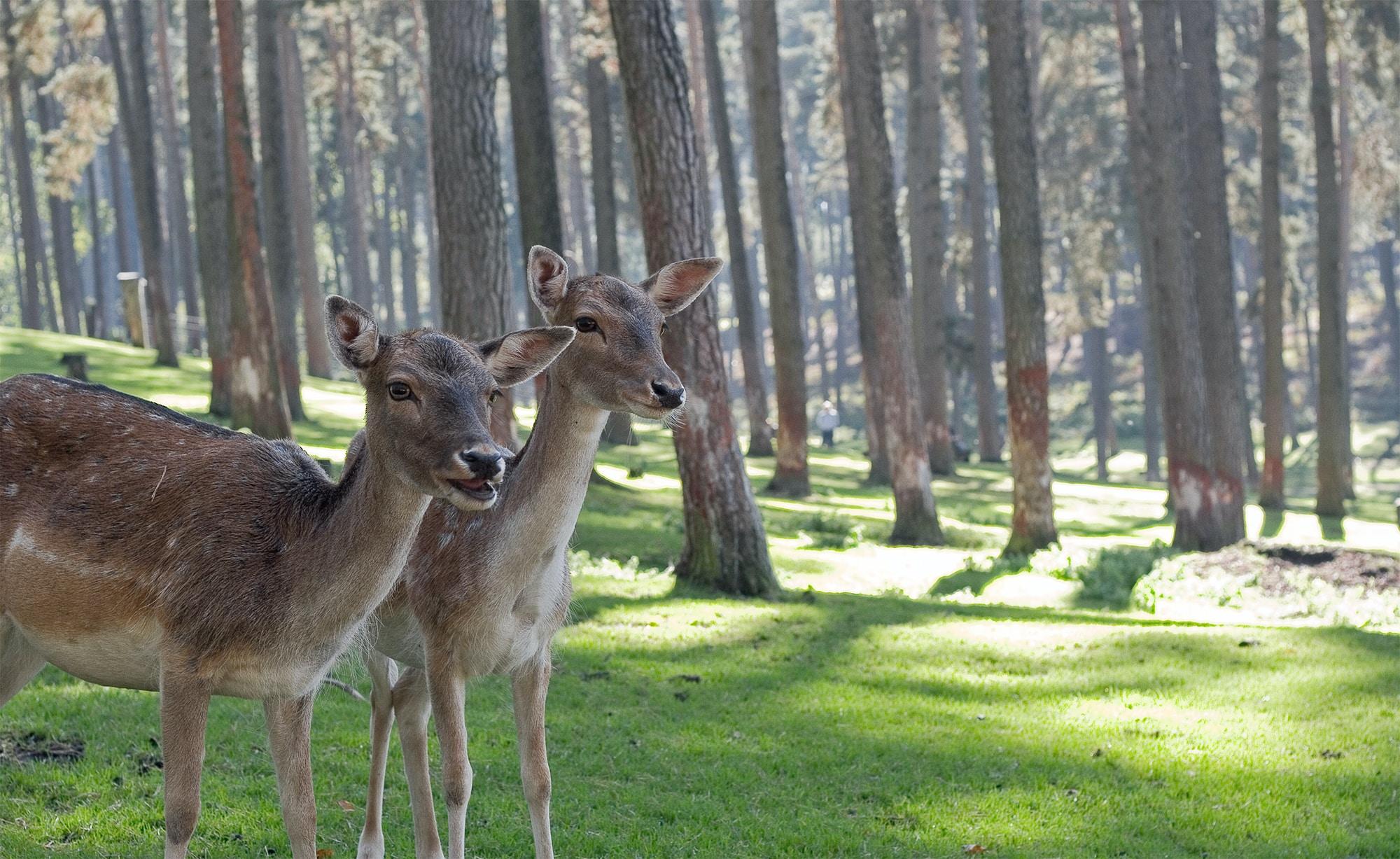 two brown deers in woods