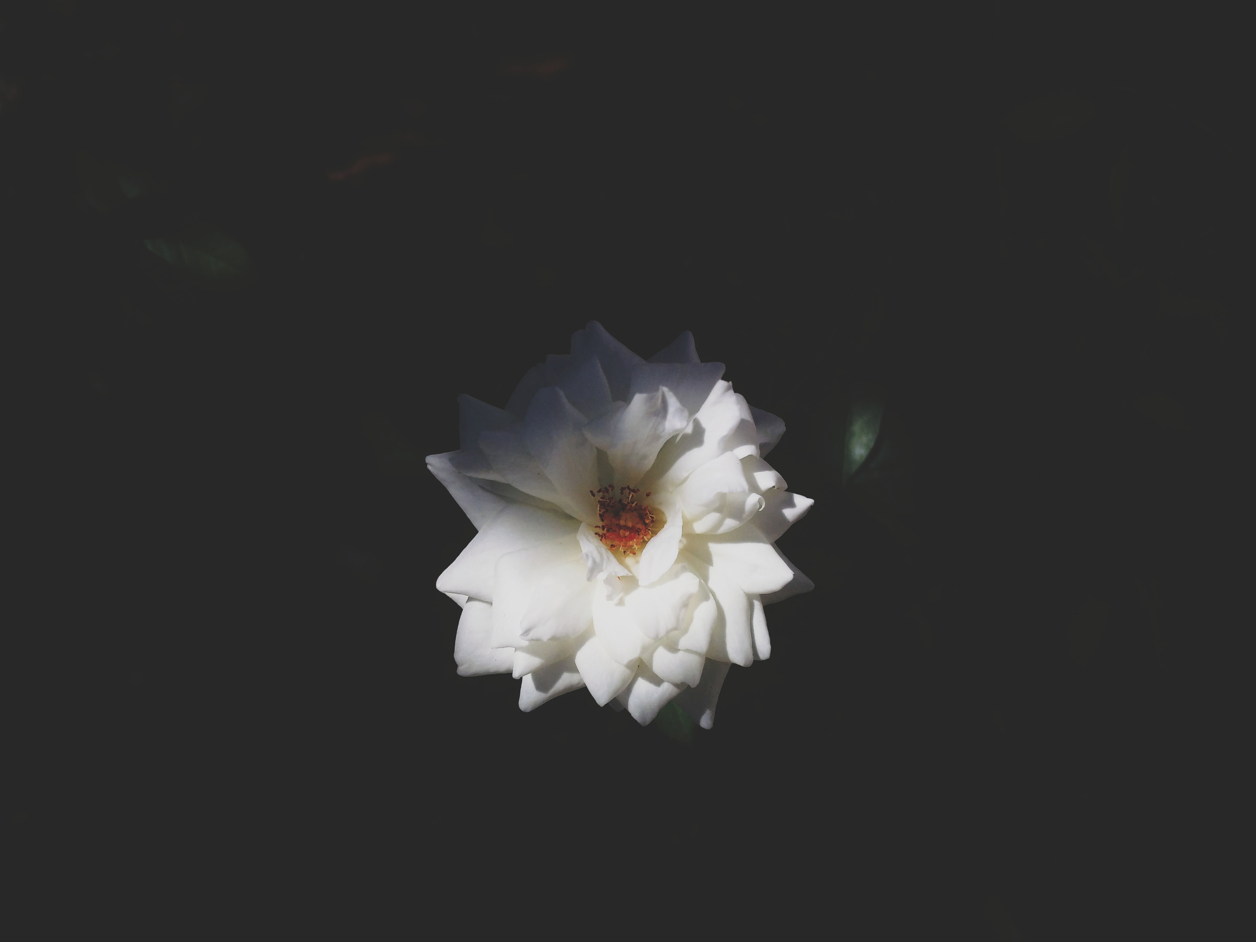 An overhead shot of a flower with silky white petals
