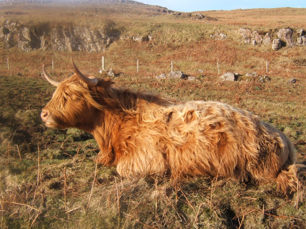 brown cattle cow