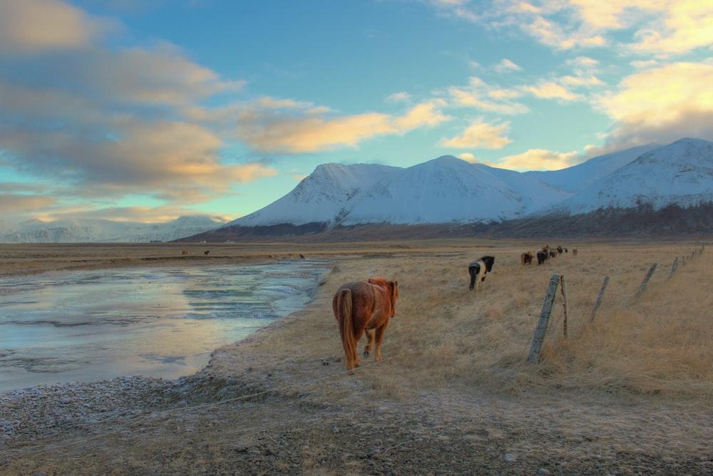cow walking on field near mountain alps