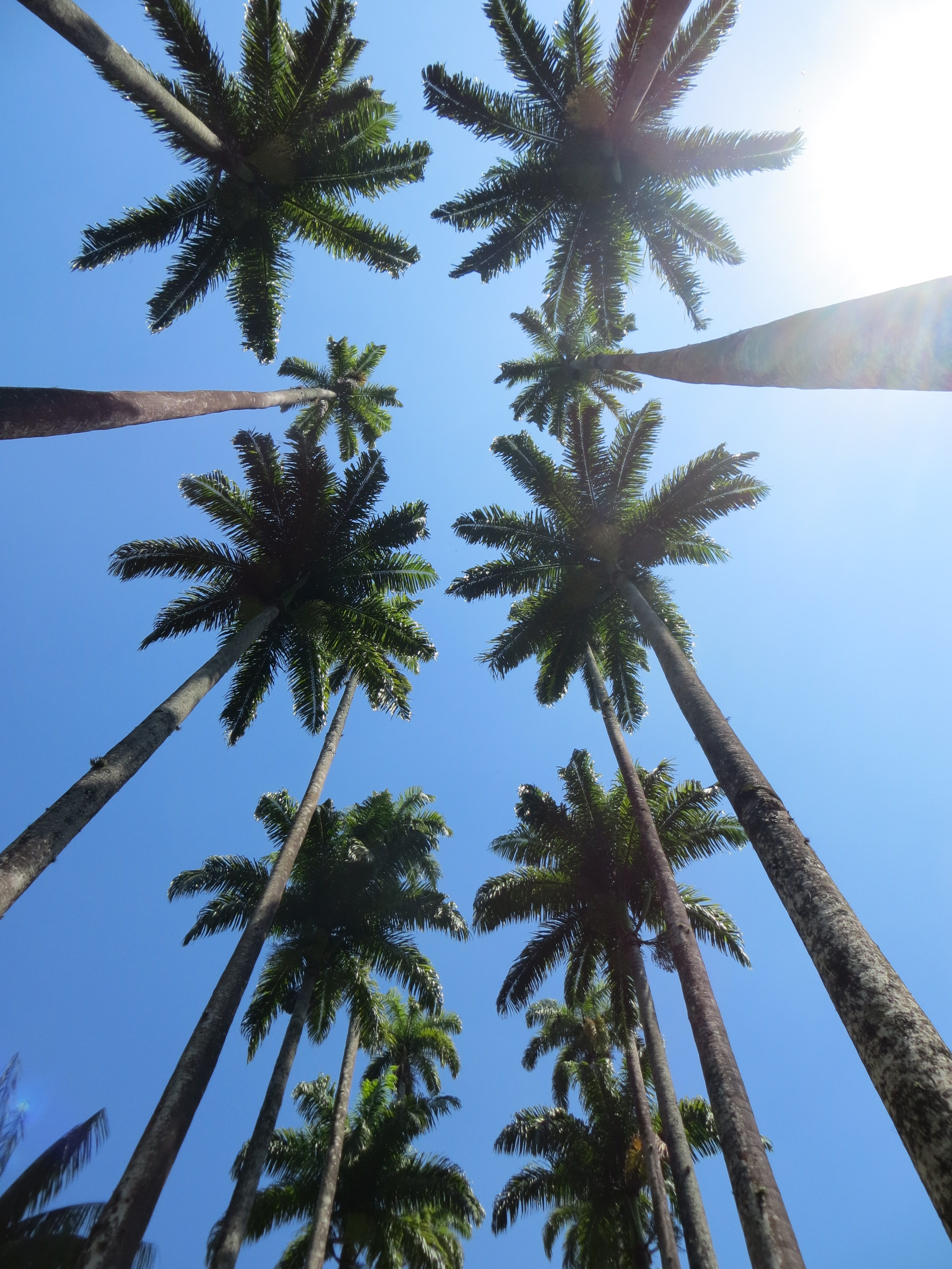 Looking straight up at a dozen palm trees against a sunny blue sky