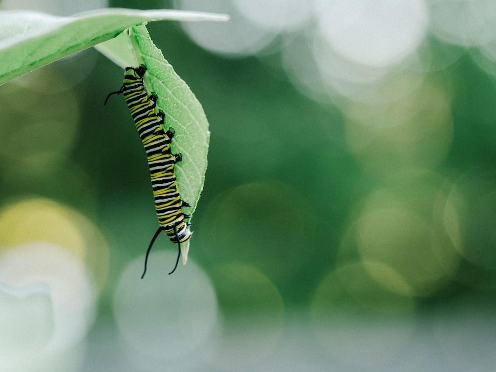tiger caterpillar under leaf
