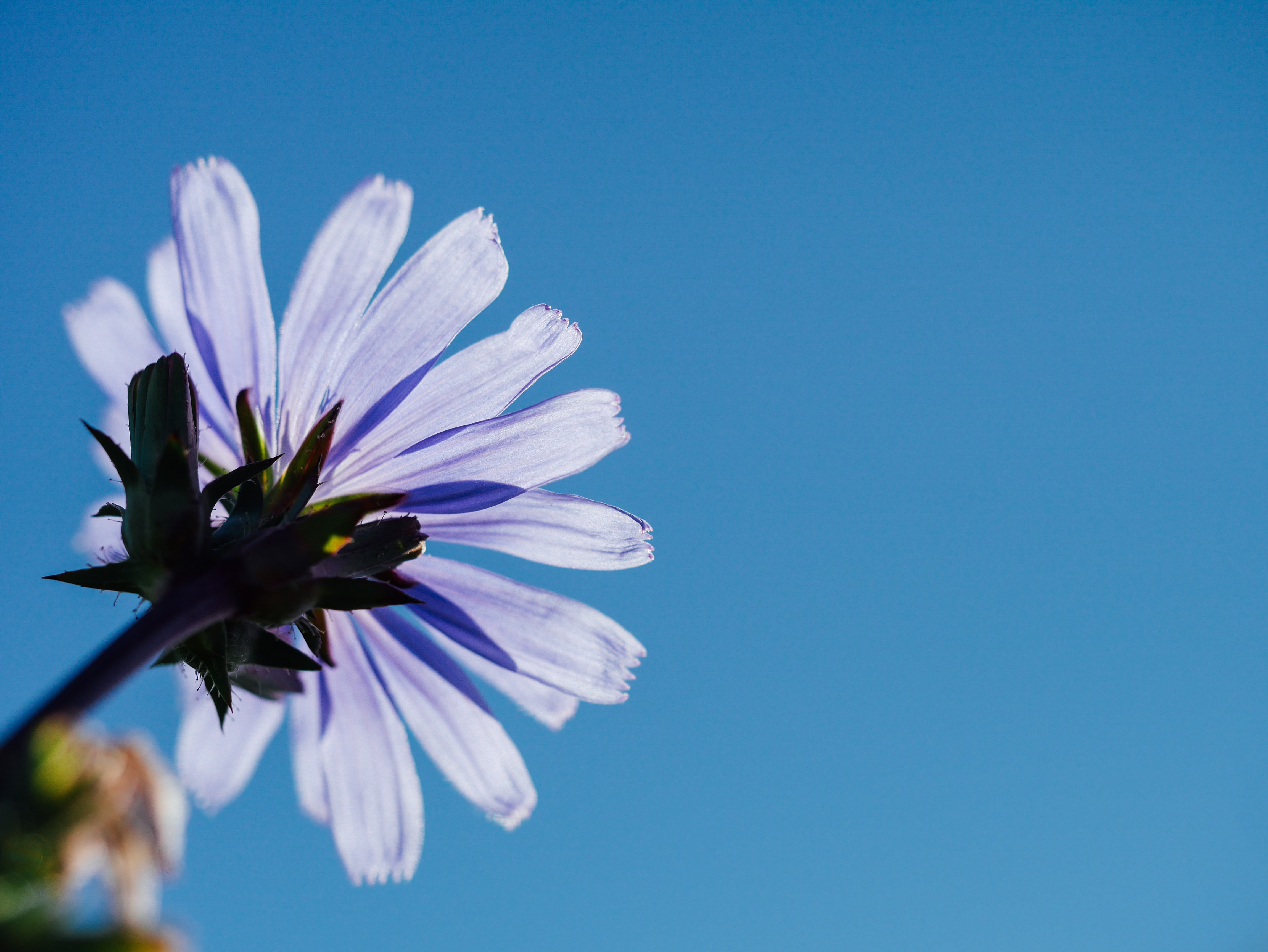 A low-angle shot of a single violet daisy flower