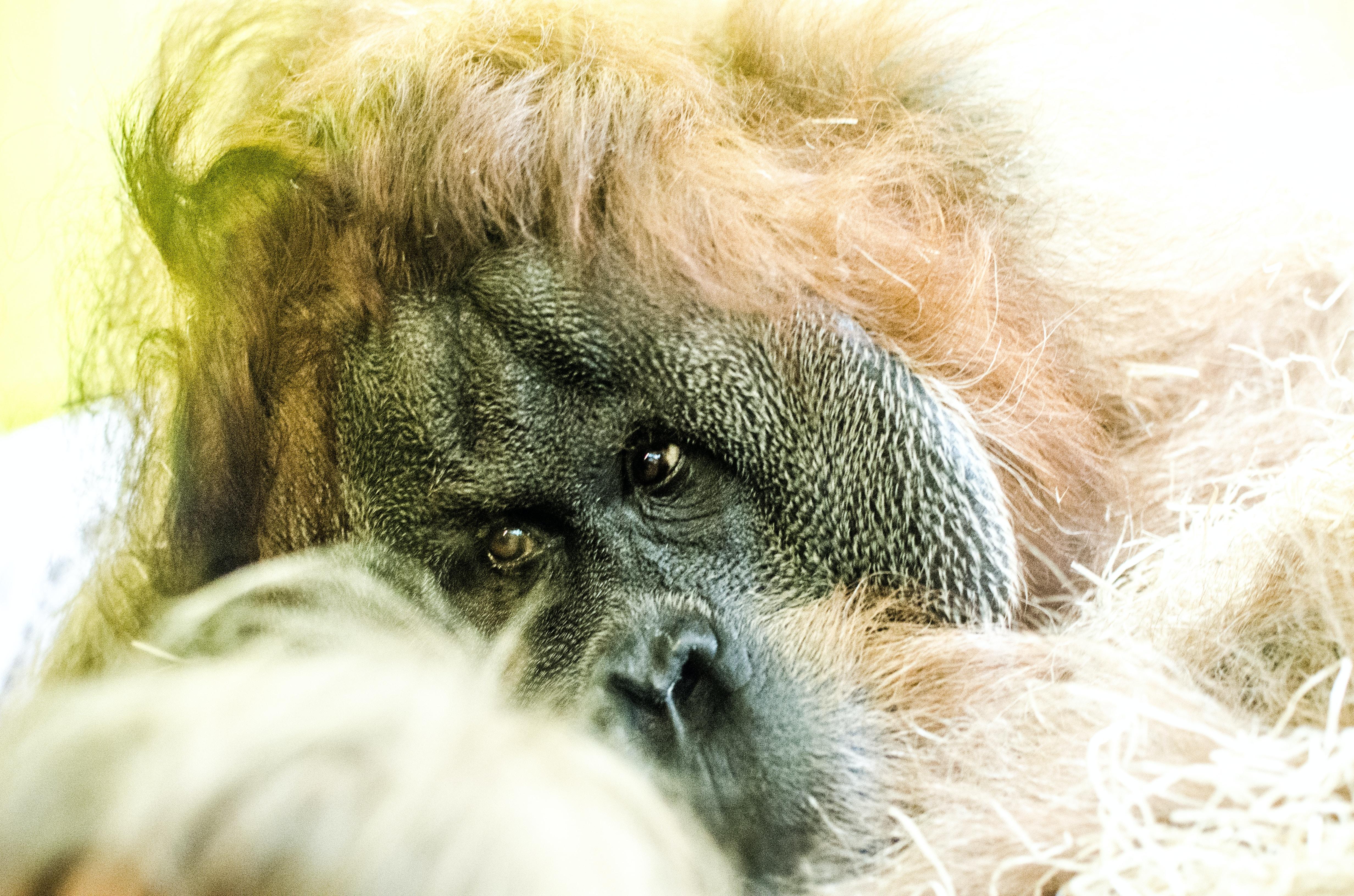 Macro of an orangutan