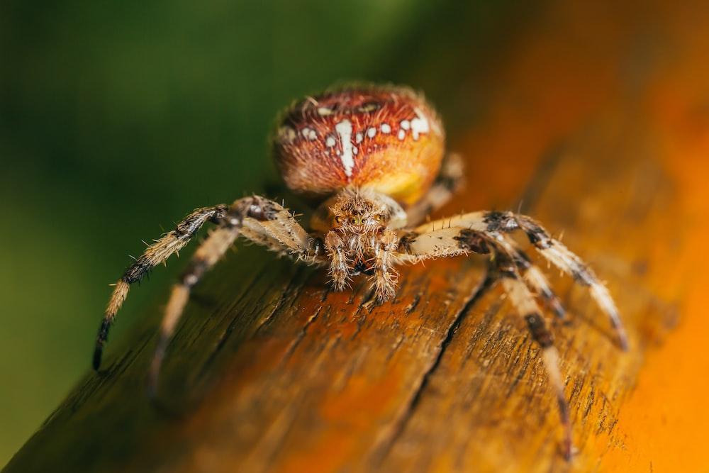 orange and brown spider