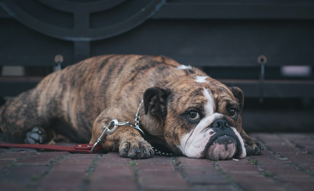dog with separation anxiety looking depressed