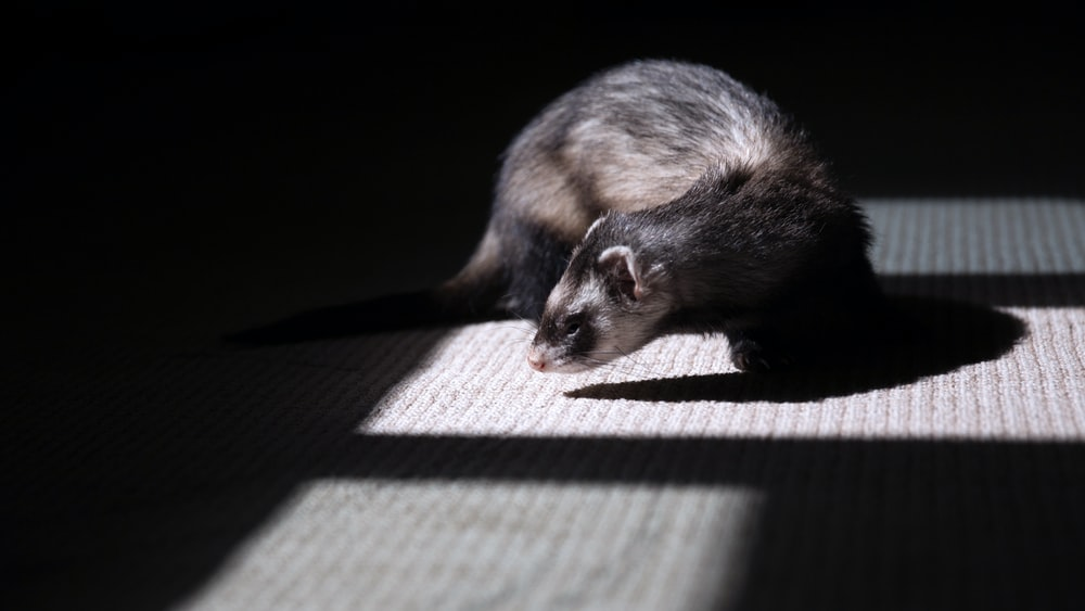 brown and black ferret