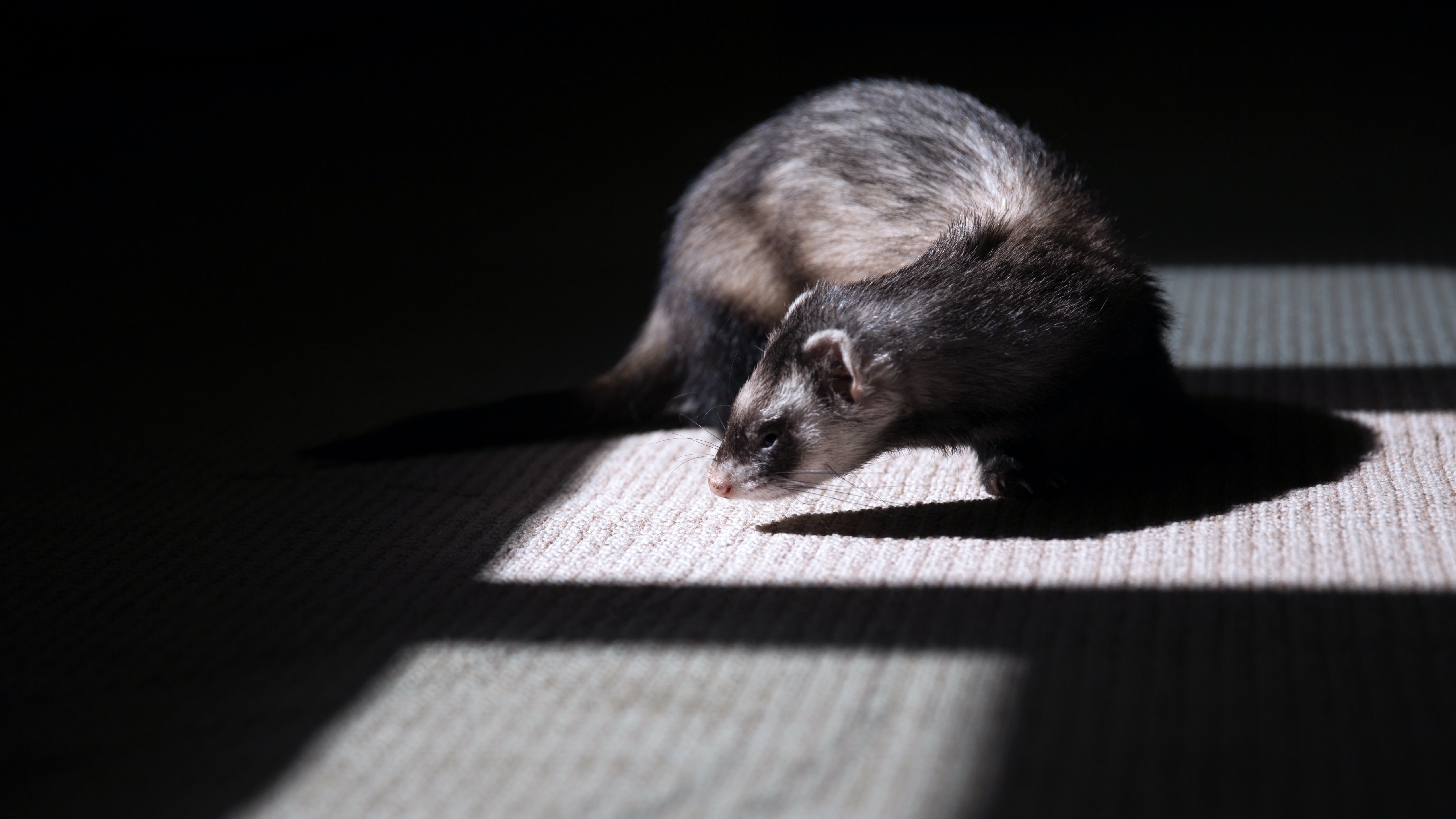 A ferret spotlighted by an illuminated window and partially covered in shadow