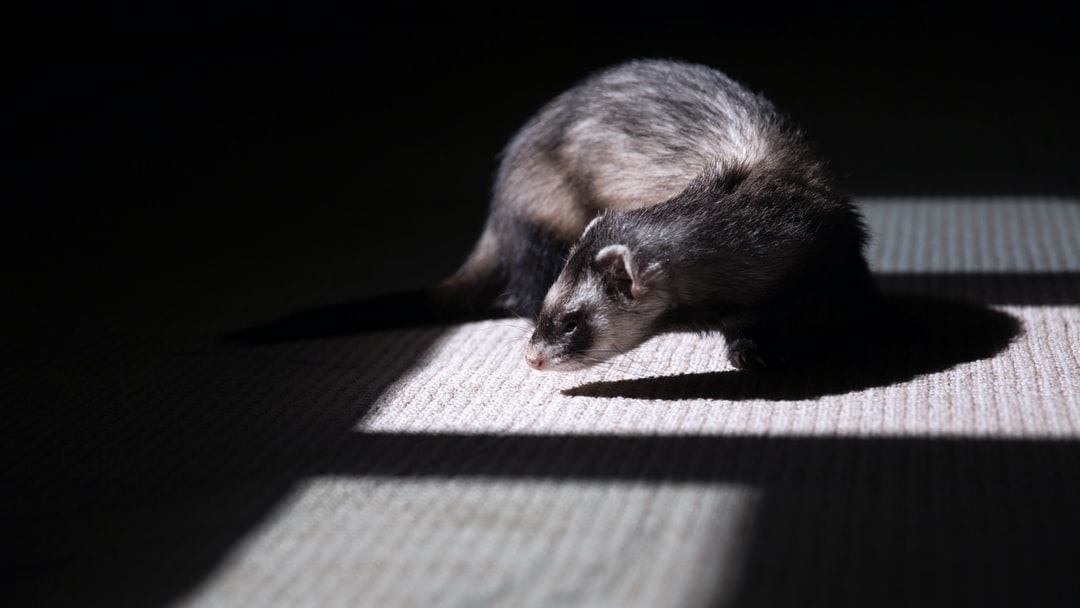 The Top 10 Ferret Toys For Your Furry Friend