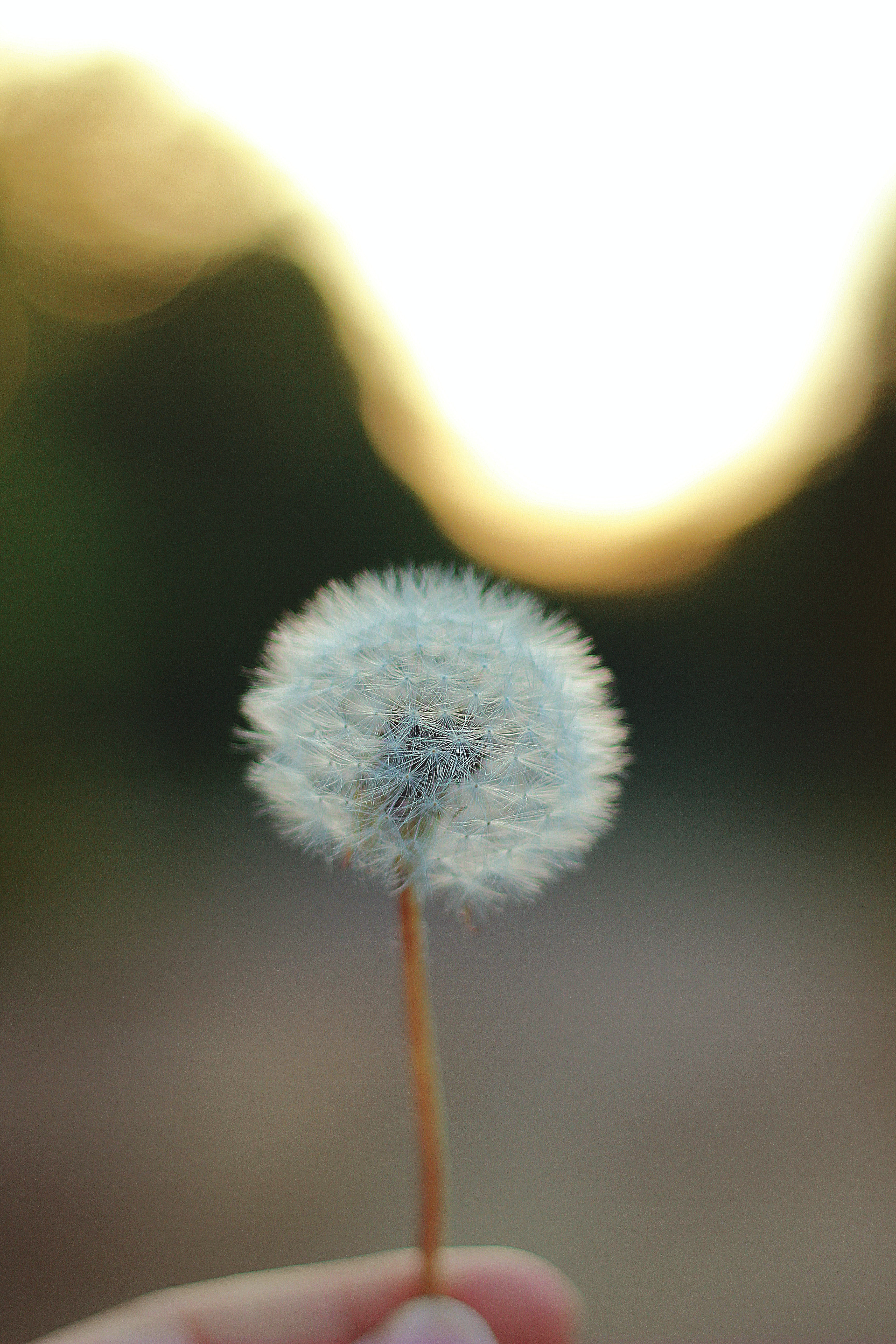 A person holding a dandelion in their hand