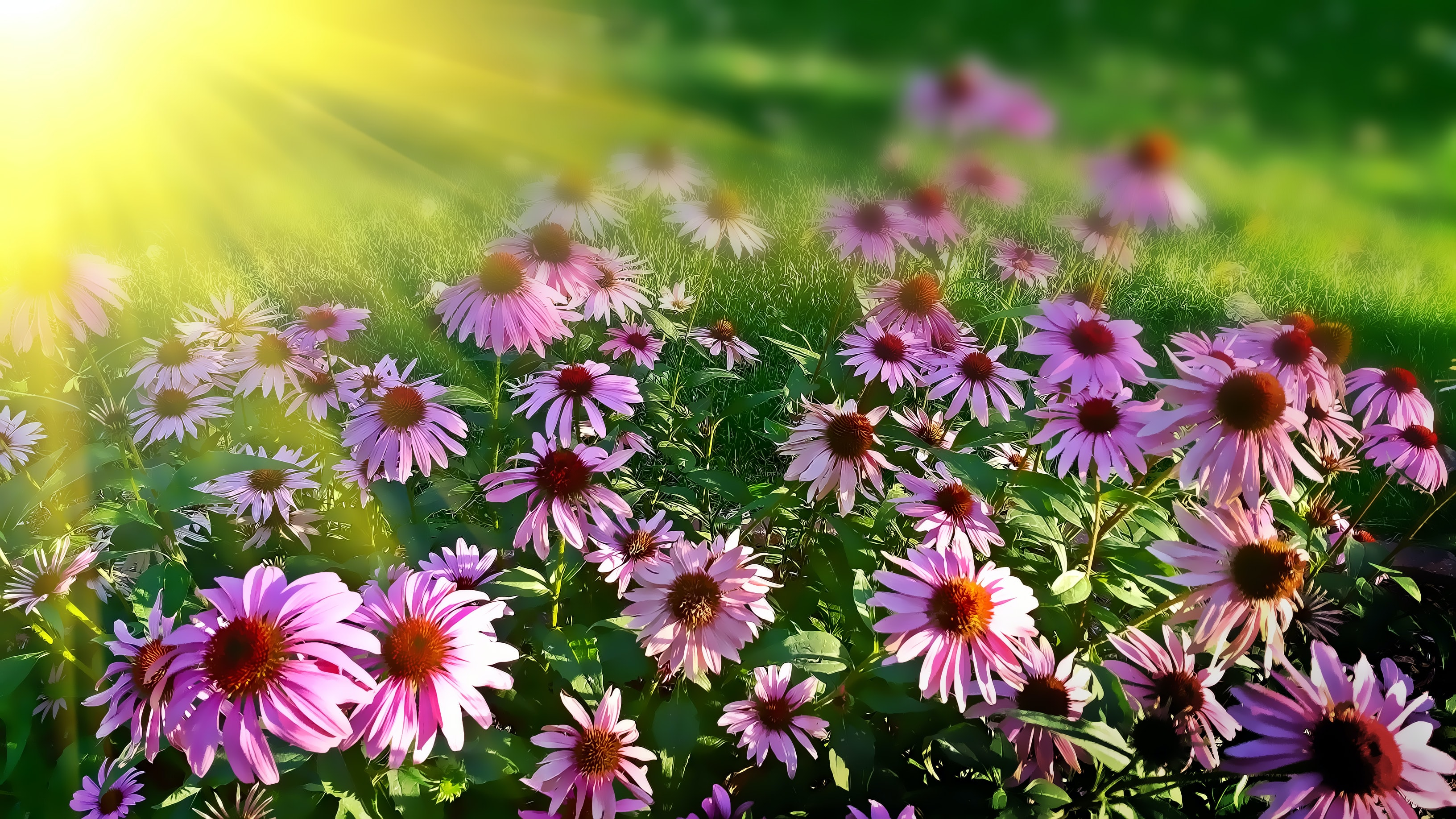 Bright sun shining on a patch of pink flowers