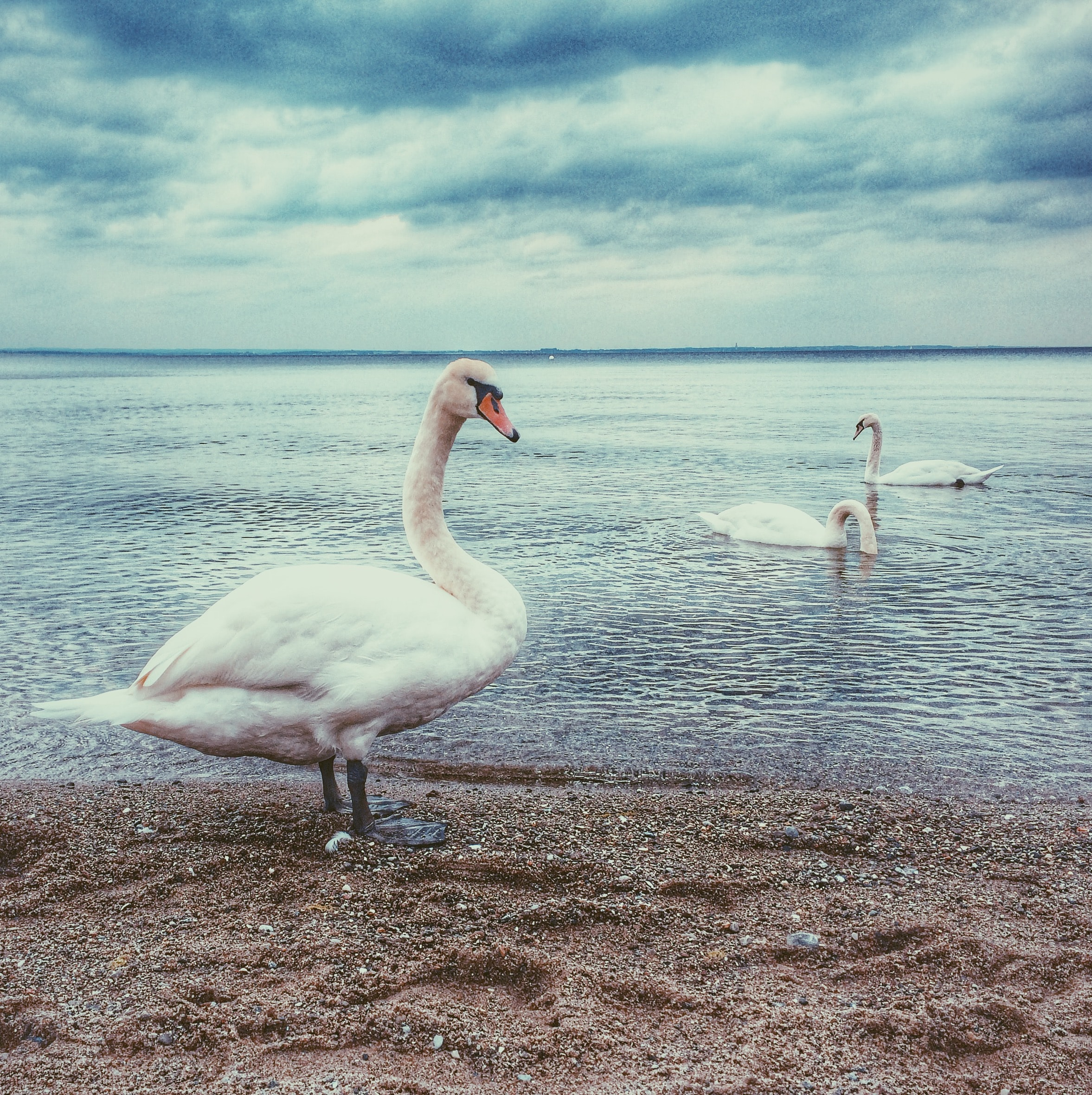 three white swan near shoreline