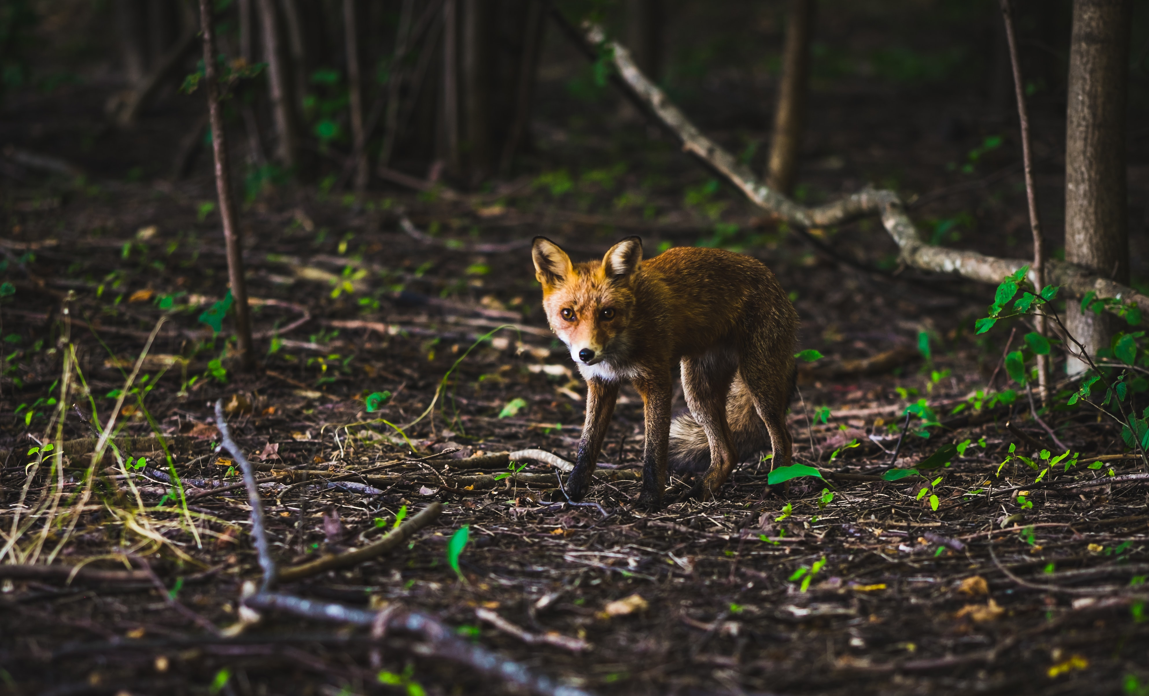 A cautious fox walking across the forest floor on a spring's day