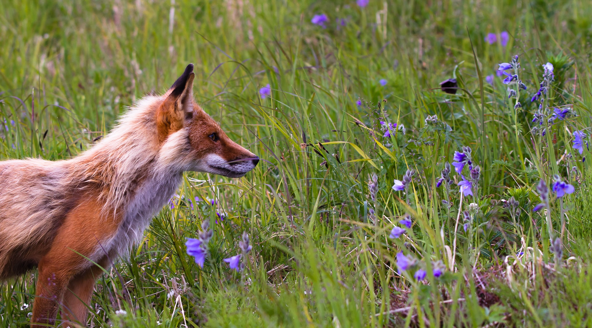 red fox beside lavender flowers