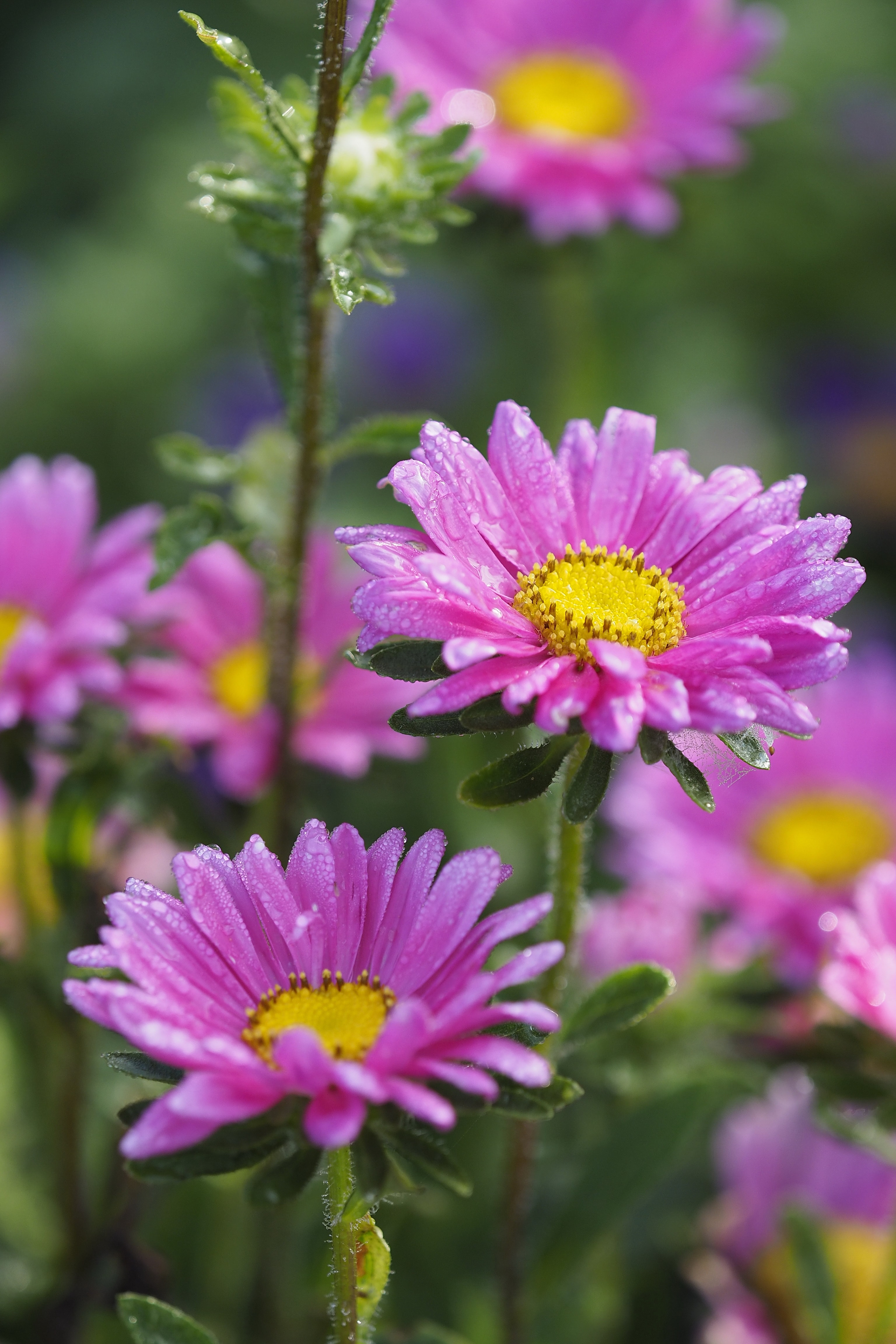 bokeh photography of two purple daisies