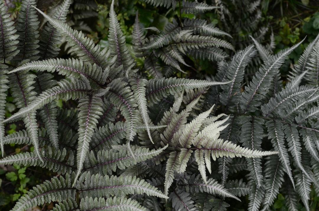 Athyrium niponicum, Botanical Garden of the University of Basel