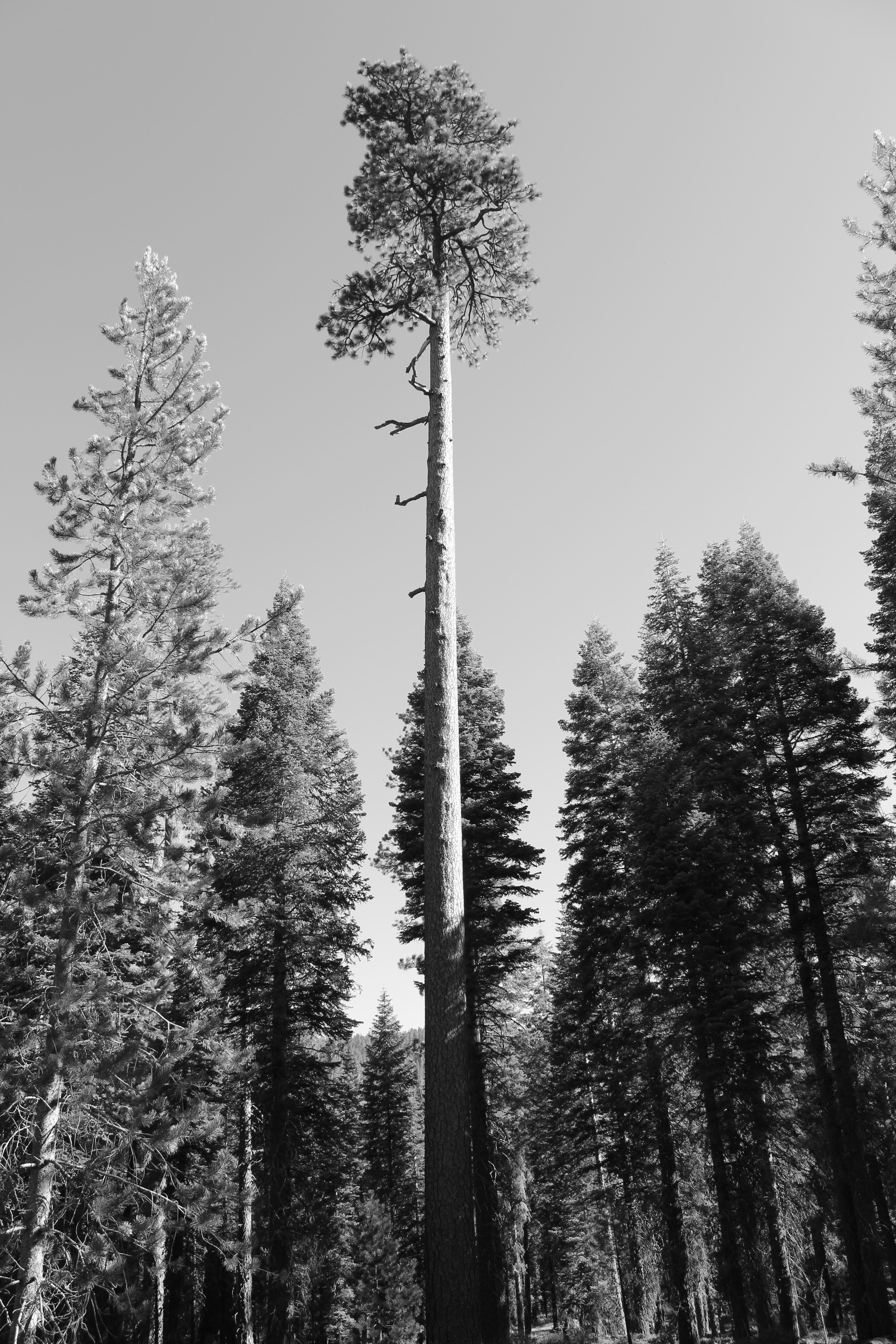 A black and white shot of tall pine trees