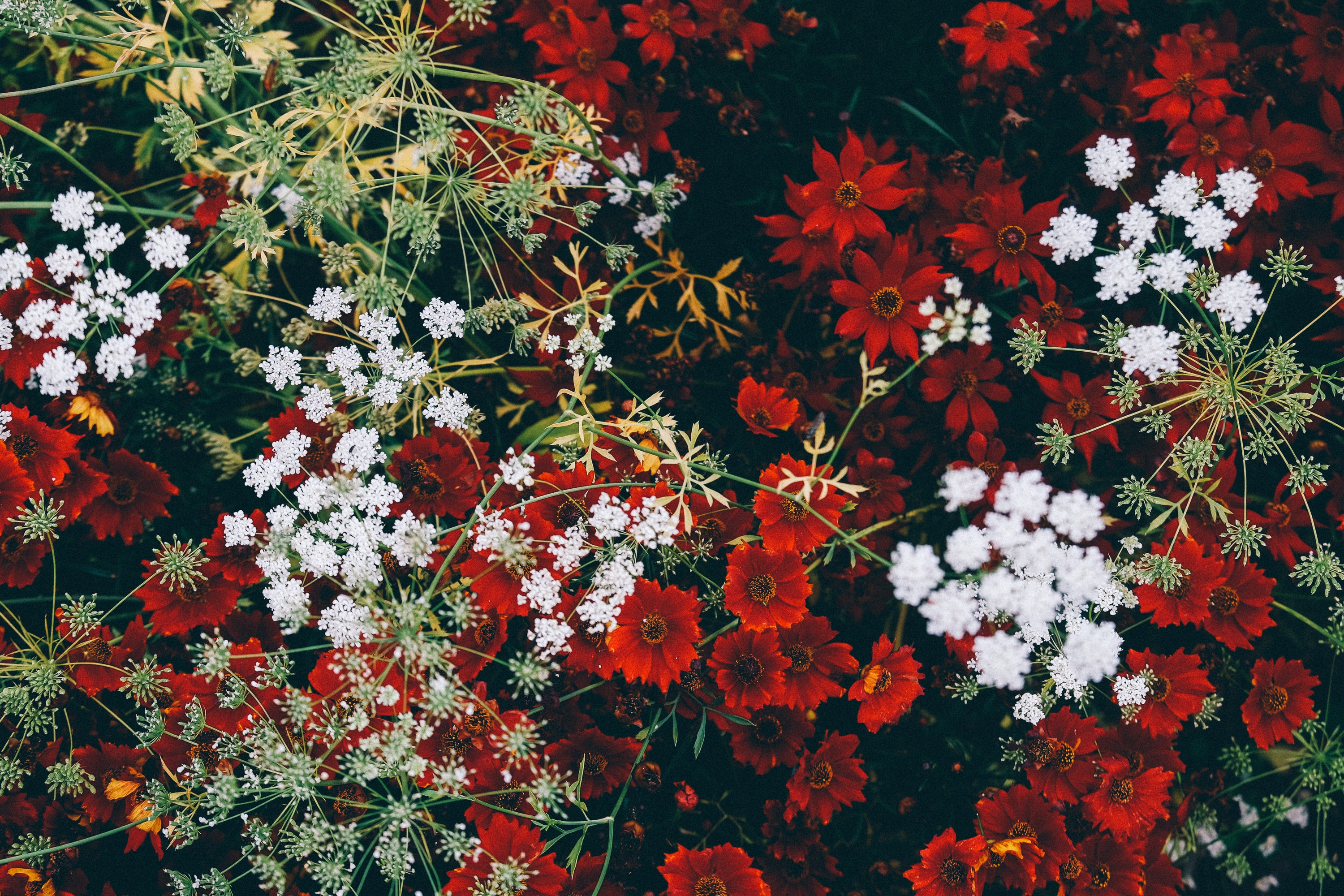An overhead shot of a grouping of red and white flowers