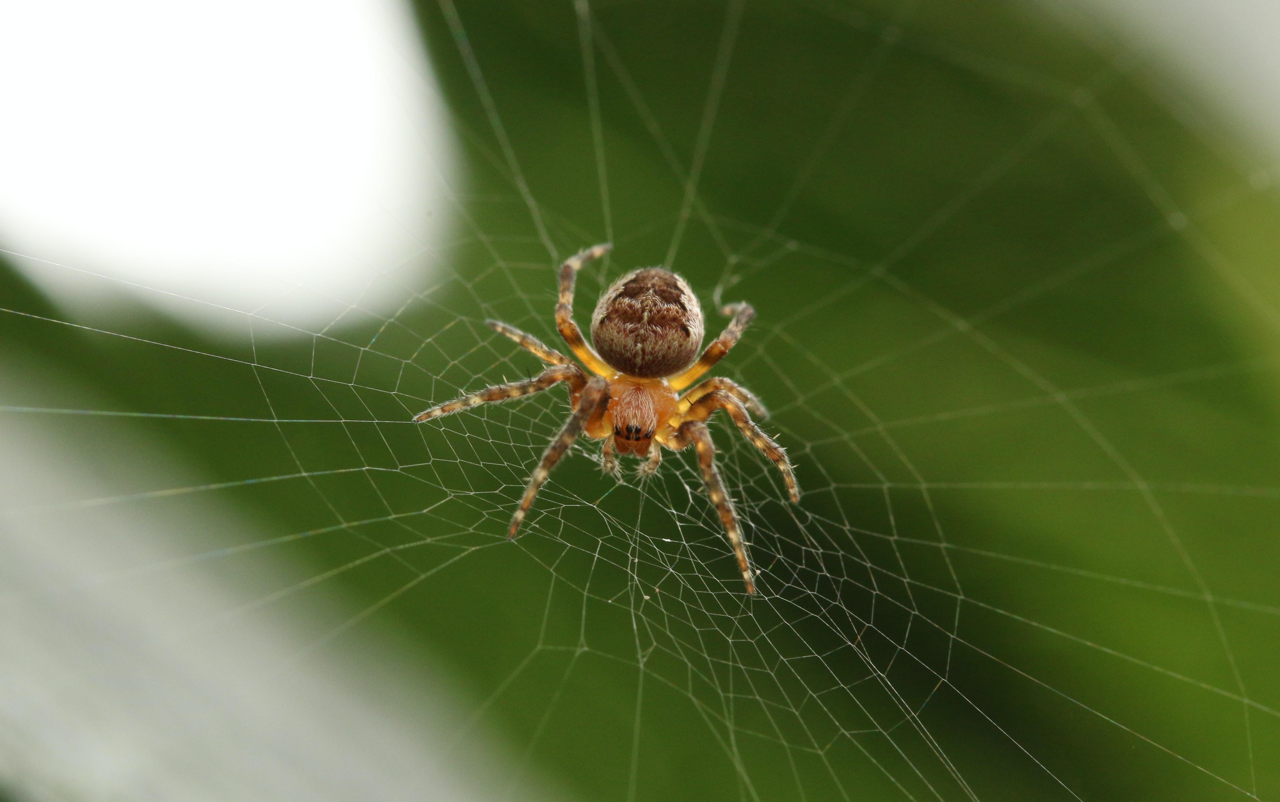 barn spider on cobweb closeup photography