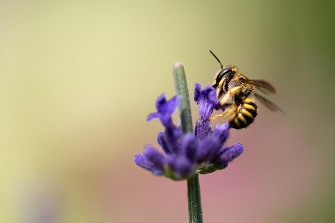 Wasp on lavender