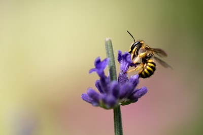 selective focus photography of bee on purple petaled flower violet zoom background