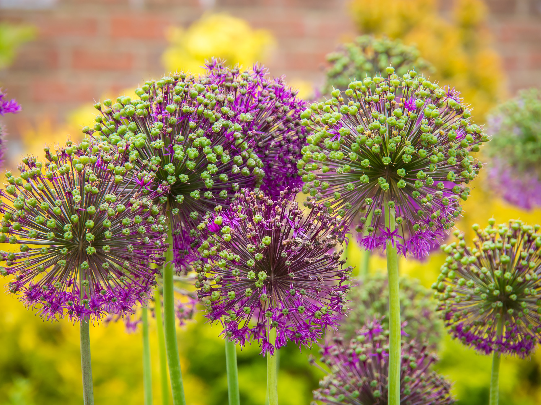 Fireworks Allium | Fall Gardening With 9 Stunning Perennial Flowering Bulbs
