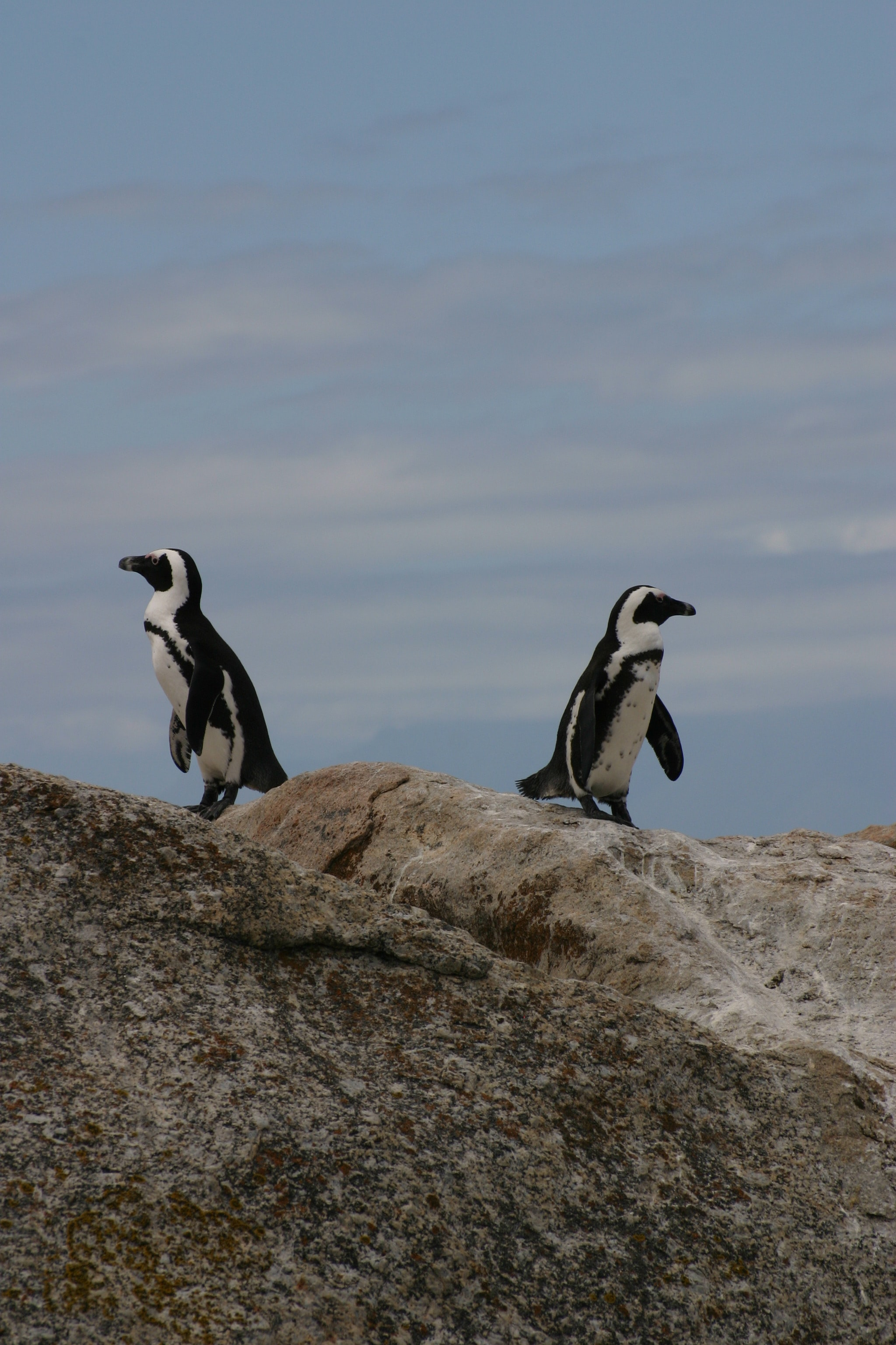 Penguins face opposite directions atop a rock in South Africa