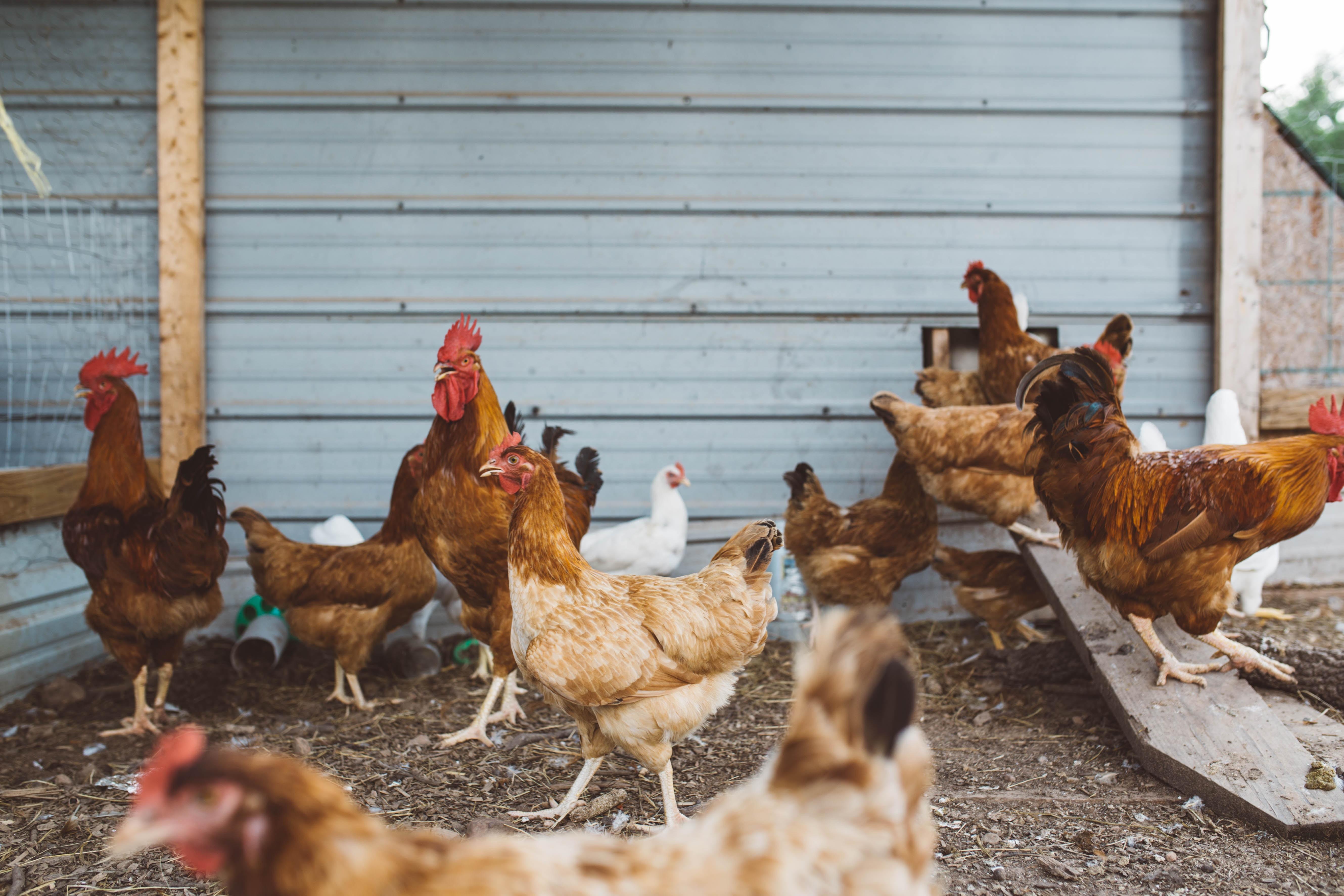 flock of hen near gray wall