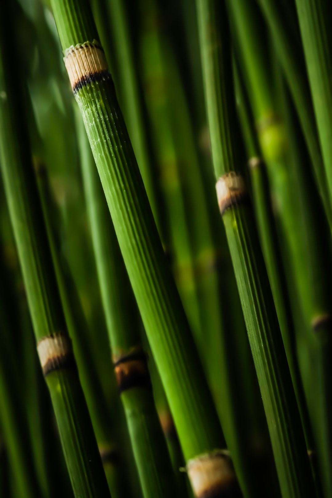 Thick bamboo stems