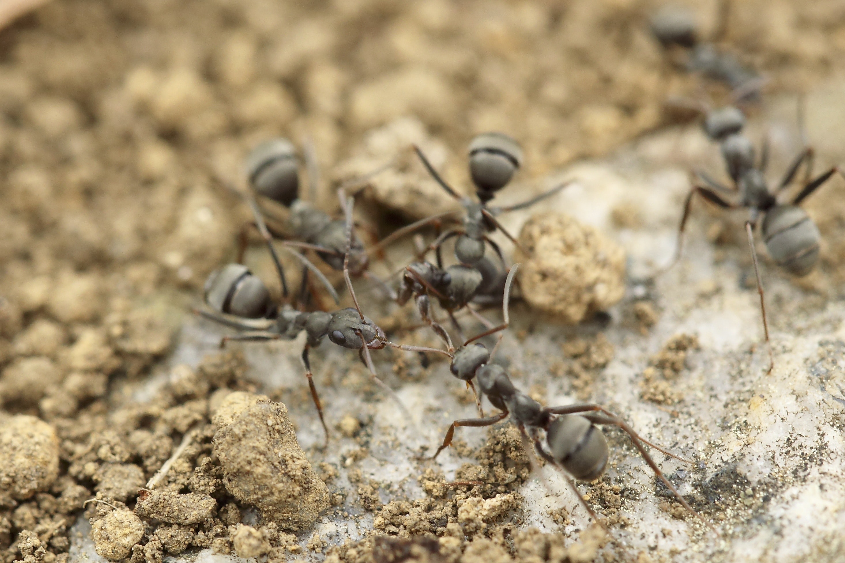 Group of ant insects working together on sandy ground