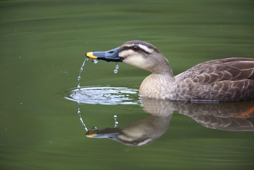 shallow focus photo of mallard duck