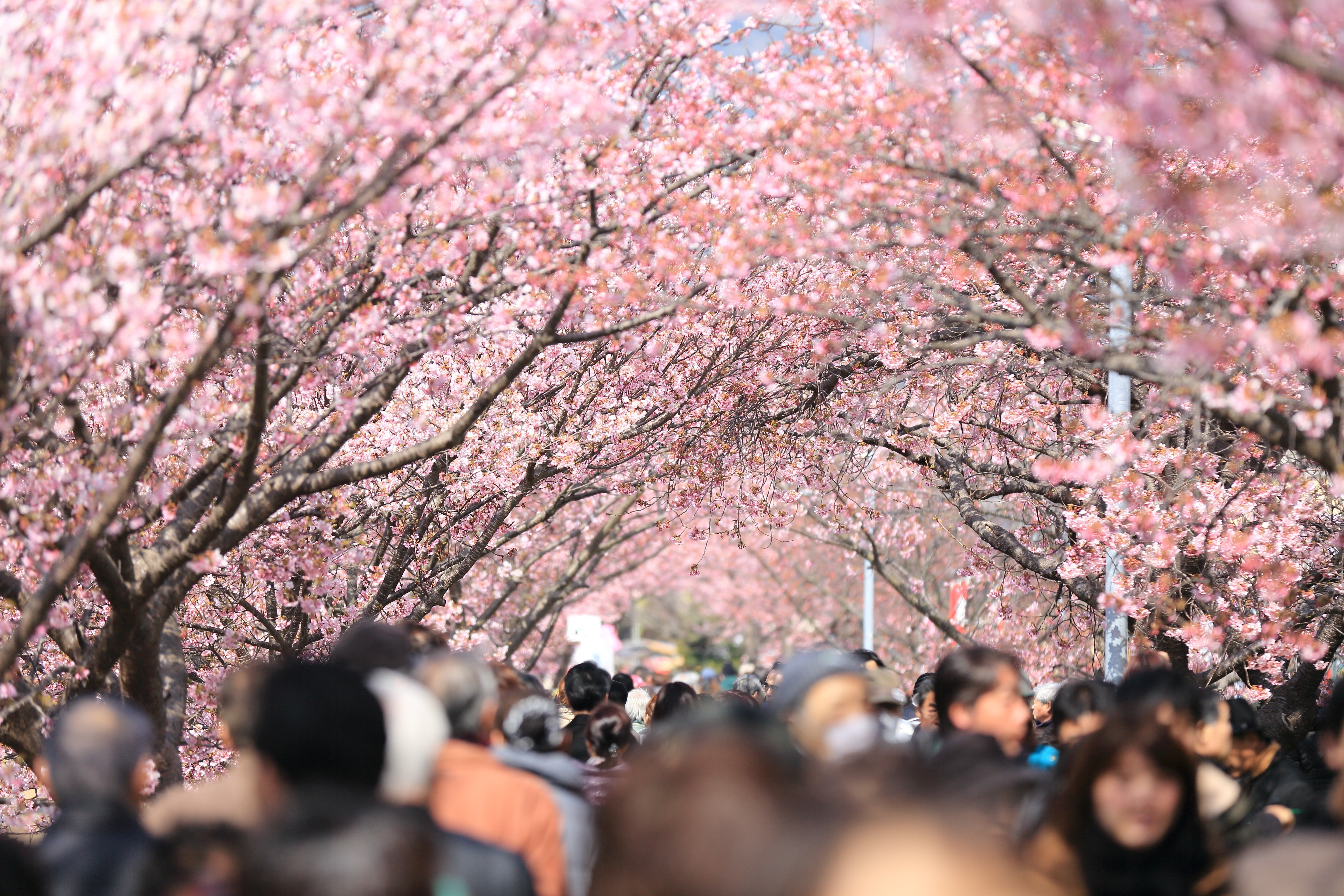 A crowd of people walking under pink cherry blossom trees in the spring