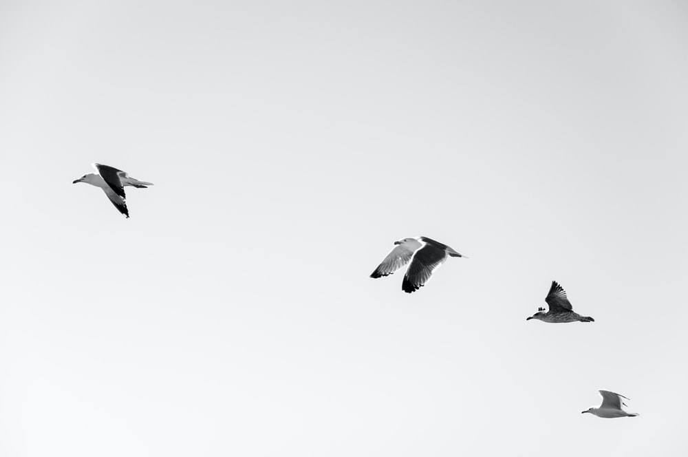four white-and-black seagulls flying at daytime