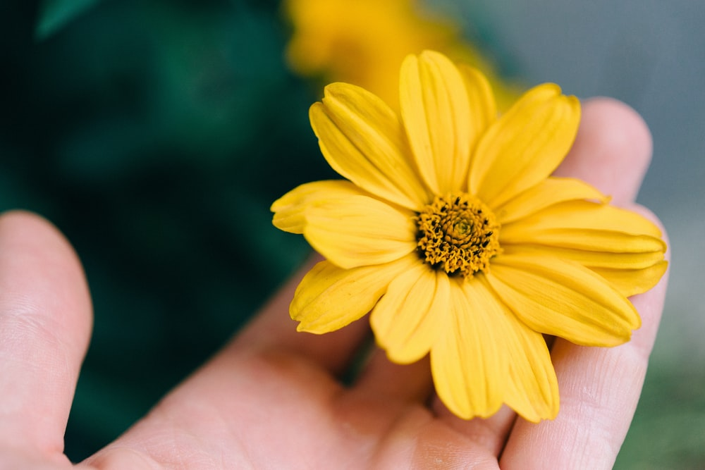 person holding yellow daisy flower