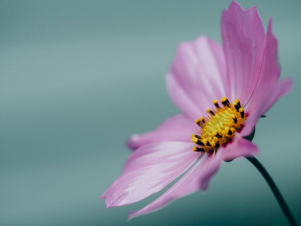 macro shot photography of pink petals flower