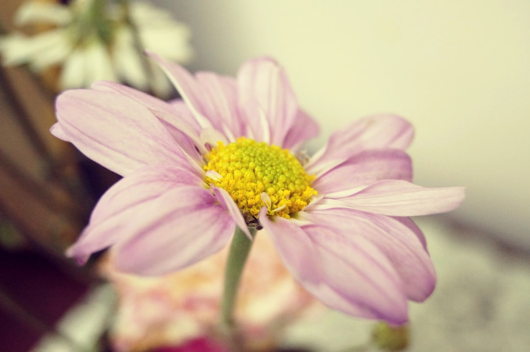 tender pink flower photo by h k hkaul on unsplash
