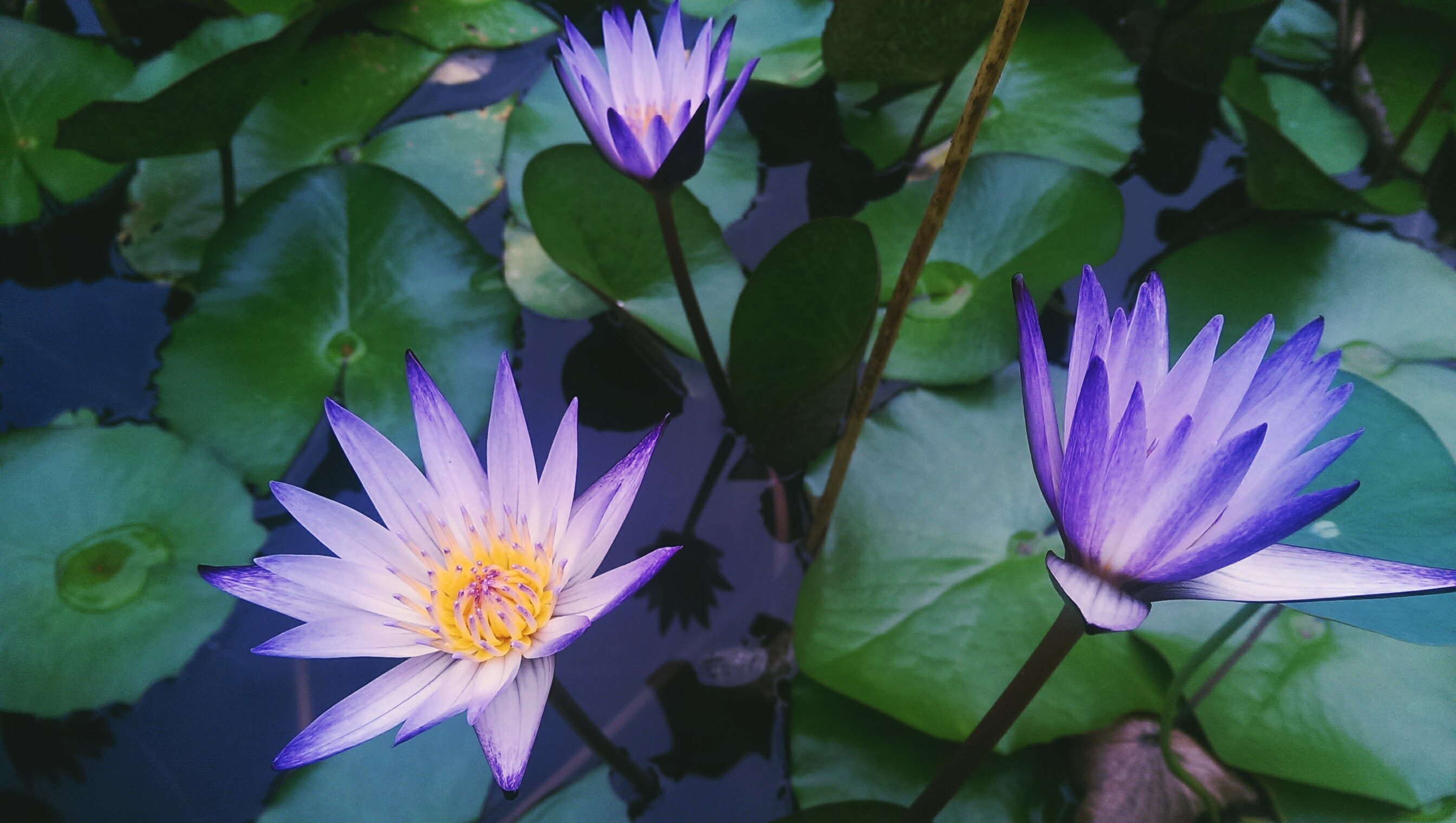 Overhead shot of violet water lilies on the surface of water