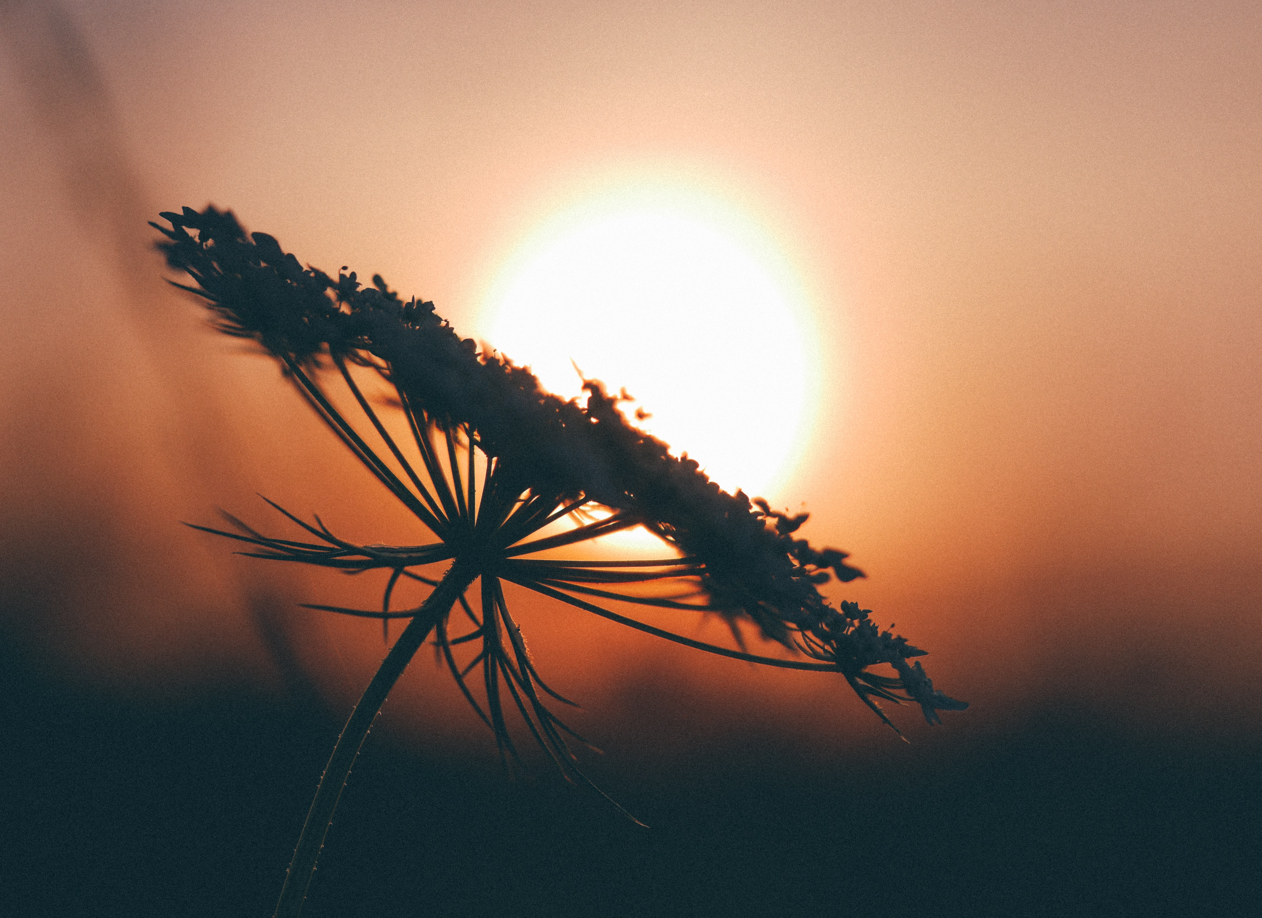 A silhouette of a wide flower head against the setting sun