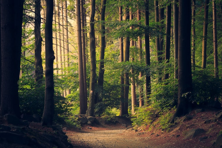 A photo of the trees in a forest with a path in front. There is golden light coming through and it is very peaceful.