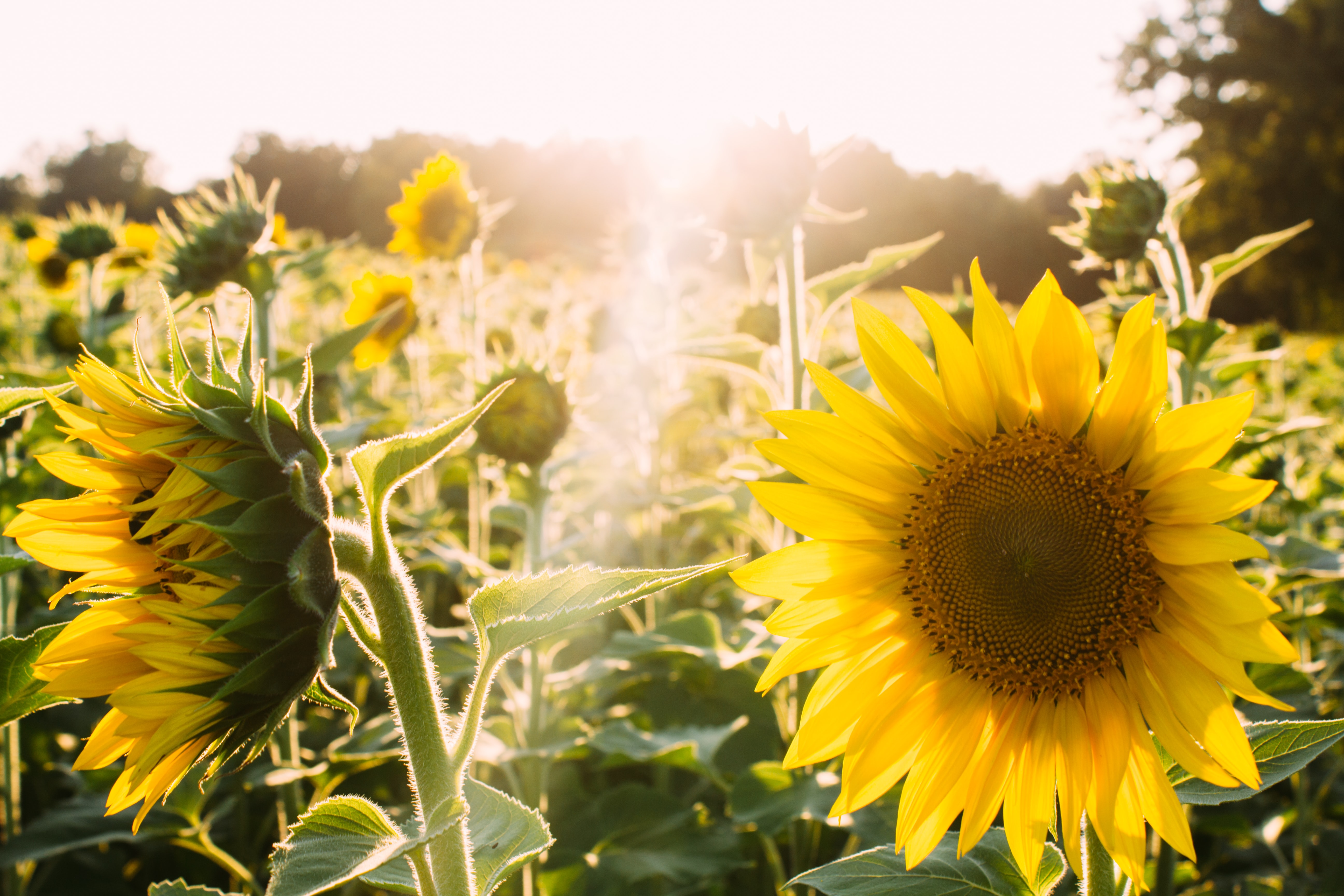 A bright shot of a field full of blooming sunflowers with a lens flare effect