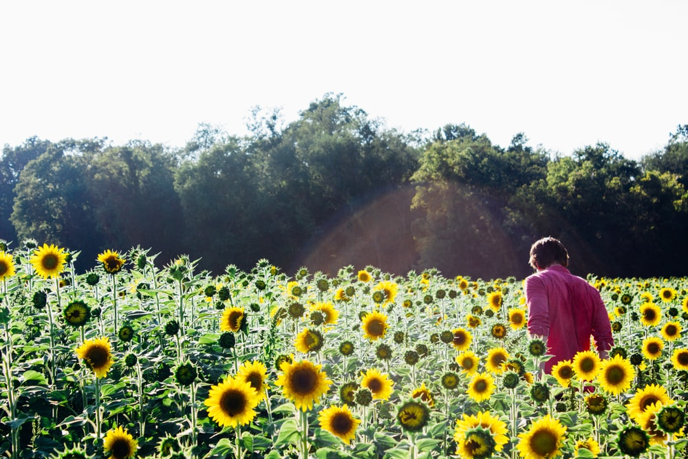 person inside yellow sunflowers in bloom plantation