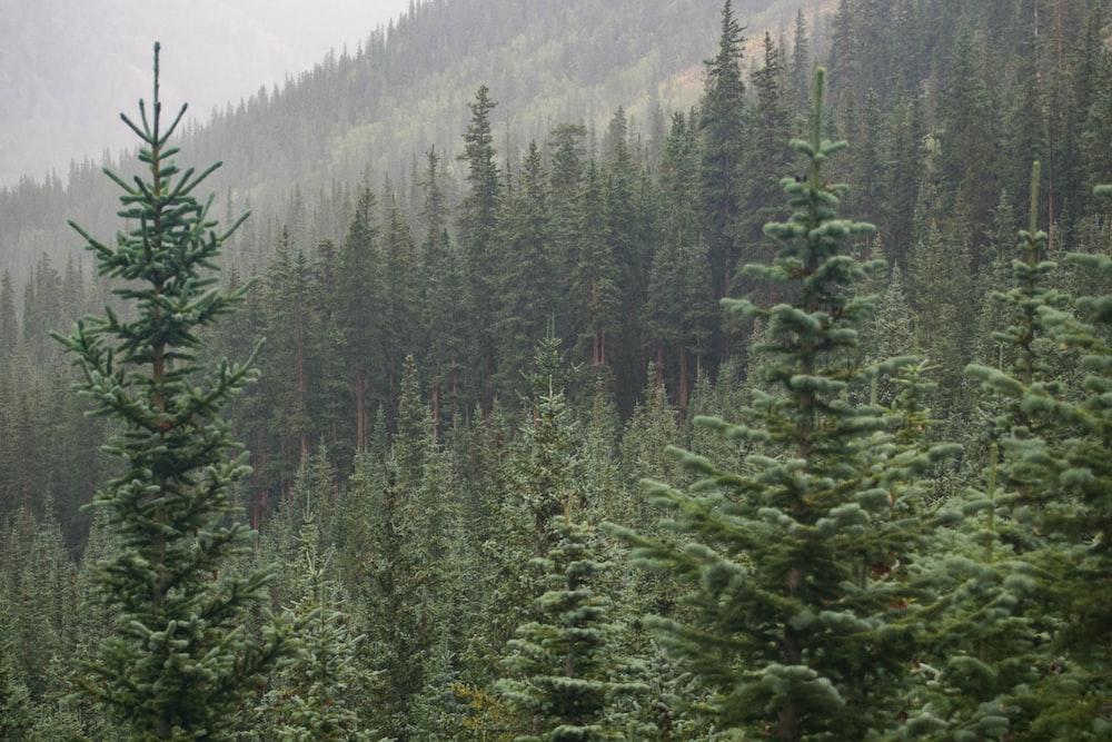 pine tree on mountain during daytime