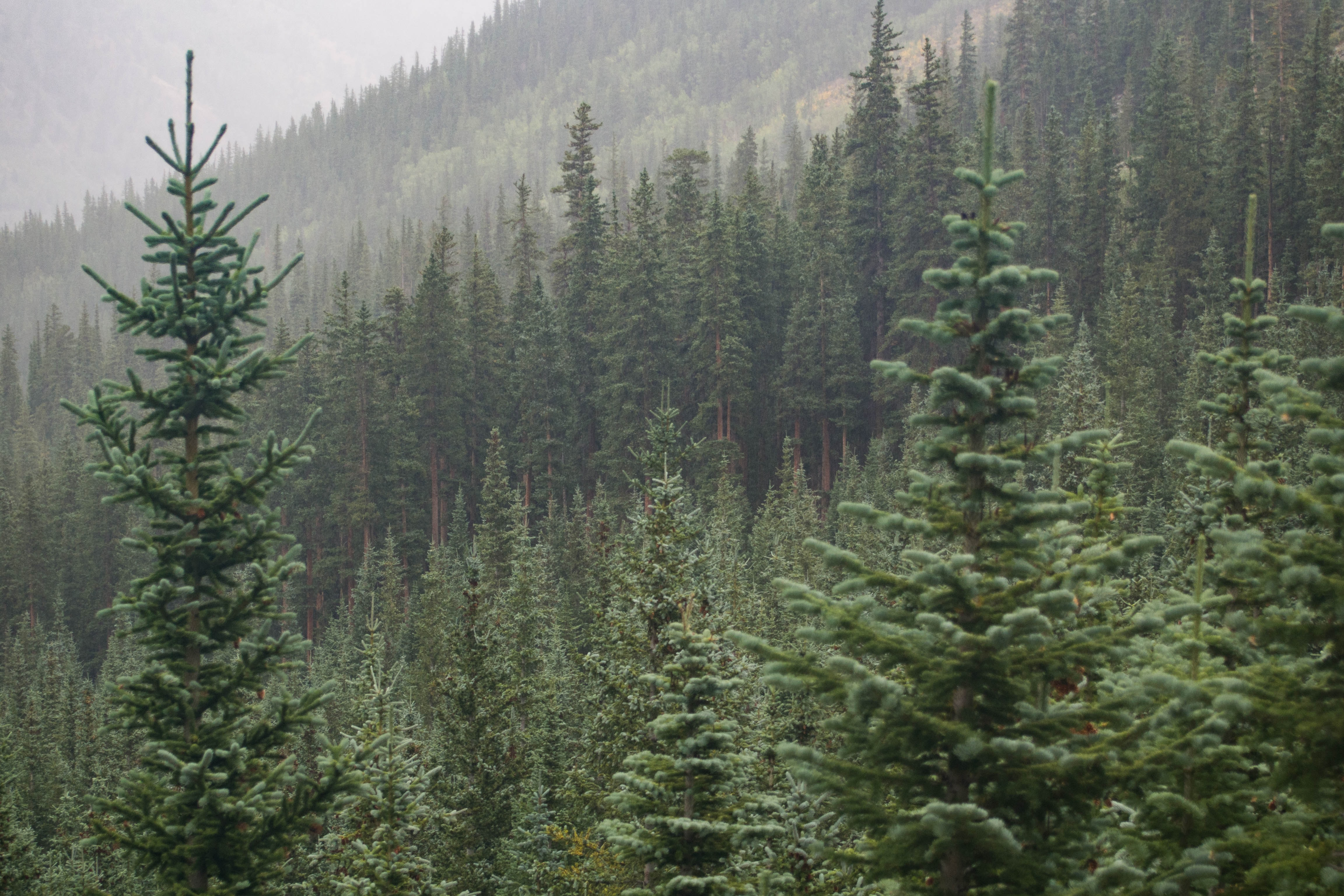Tall coniferous trees in a forest near Mount Belford