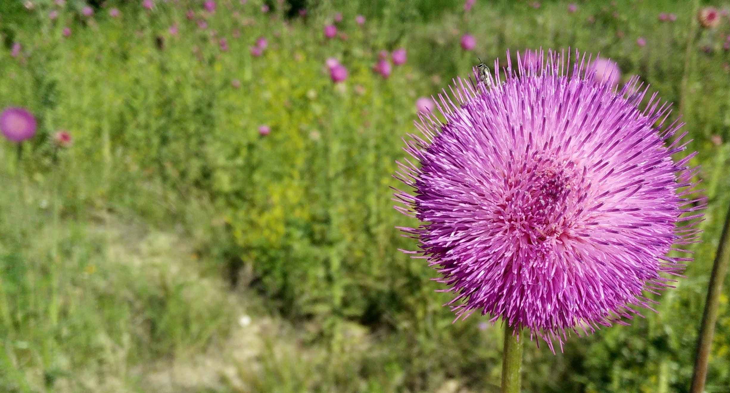 Close-up of a thistle flower in full bloom
