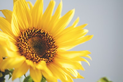 photo of yellow common sunflower sunflower teams background