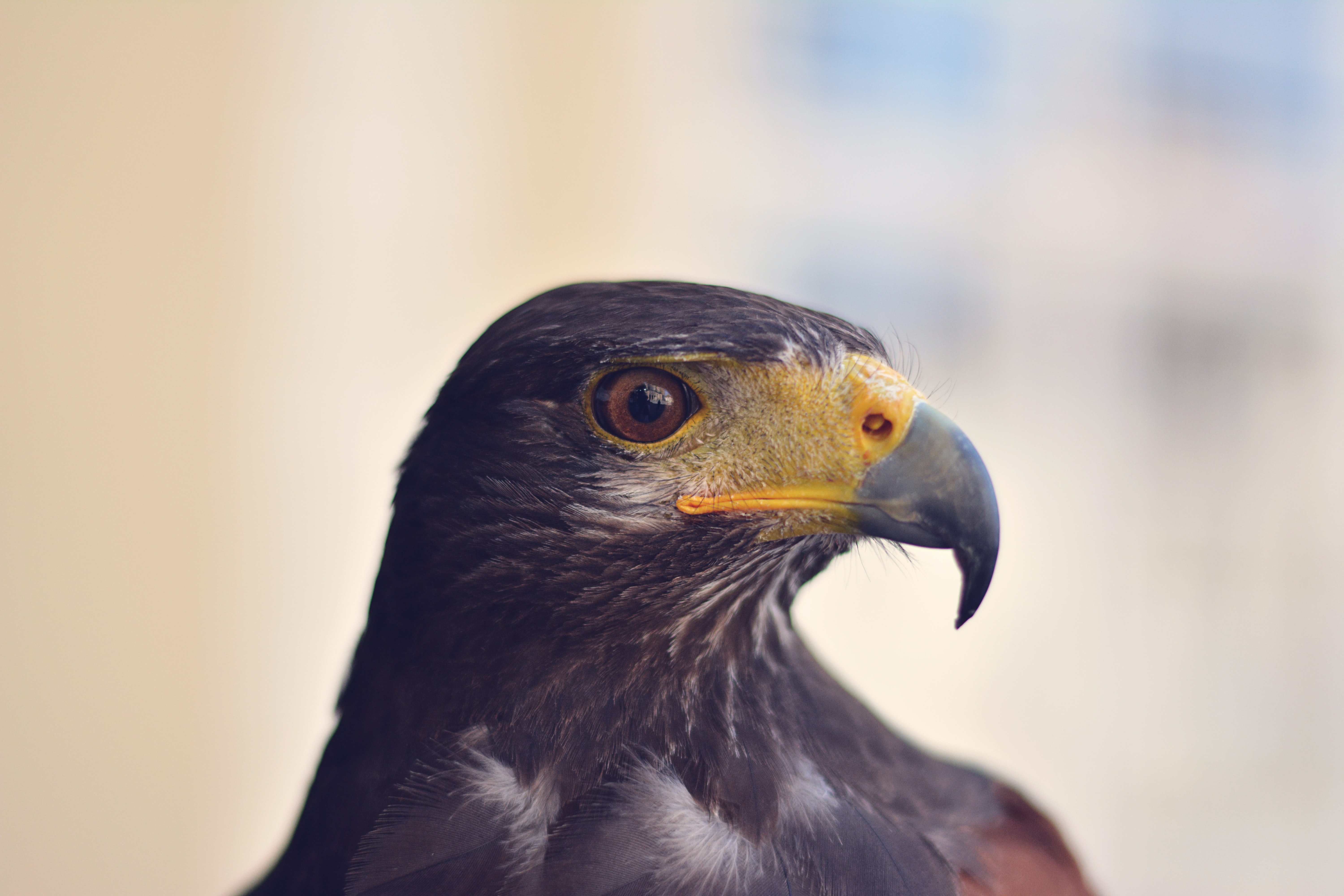 closeup photo of black eagle