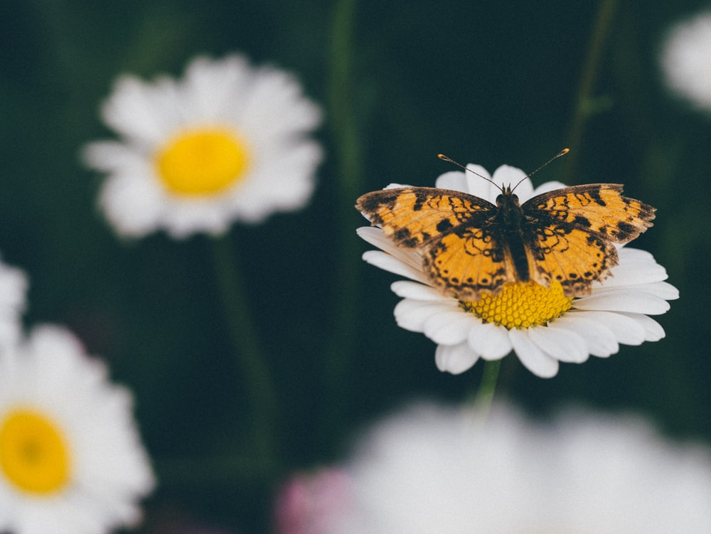 orange and black butterfly perching on white flower