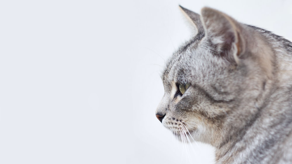 gray and white tabby cat with white background